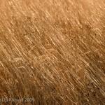 Praire grass