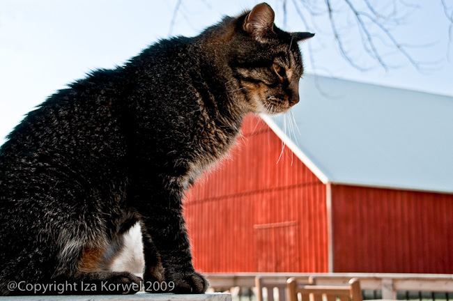 Cat and a red barn