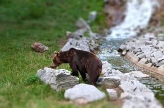 Single brown bear (Ursus arctos) looking for food