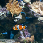 Clawnfish aka Nemo