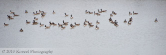 Flock of geese, resting on the lake, city park, North Liberty, Iowa