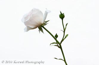Single delicate romantic rose on white background
