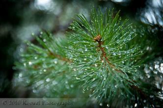 Conifer in dew