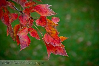 Red leaves on the green grass background