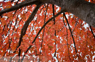 Inside the red leaves of autumn tree