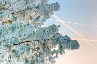 Snow-covered evergreen and contrails