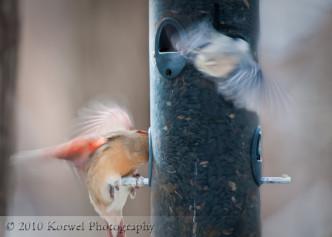 Feeder frenzy: cardinal and nuthutch