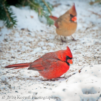 Couple of cardinals looking for seeds on snow-covered ground