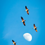 Wild geese and moon
