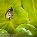 Spicebush swallowtail butterfly in green