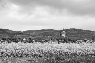 Church and canola fields, Pieszyce, Poland
