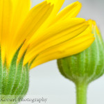 Yellow calendulas