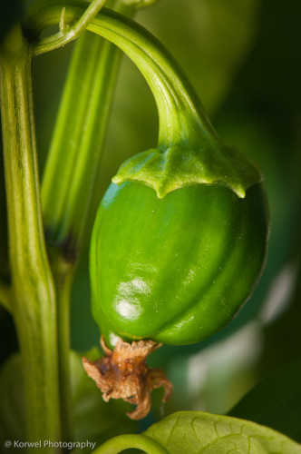 Young green bell pepper