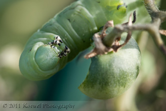 Hornworm caterpillar eating a small green tomato