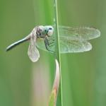 Macro Monday – Dragonfly