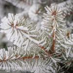 Fir in ice and snow