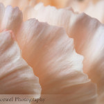Macro Monday – Orange carnation