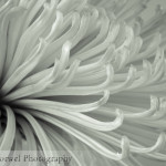 Macro Monday – chrysanthemum in B&W