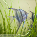 Angelfish portrait
