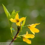 #MacroMonday – Forsythia