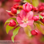 Blooming crabapple