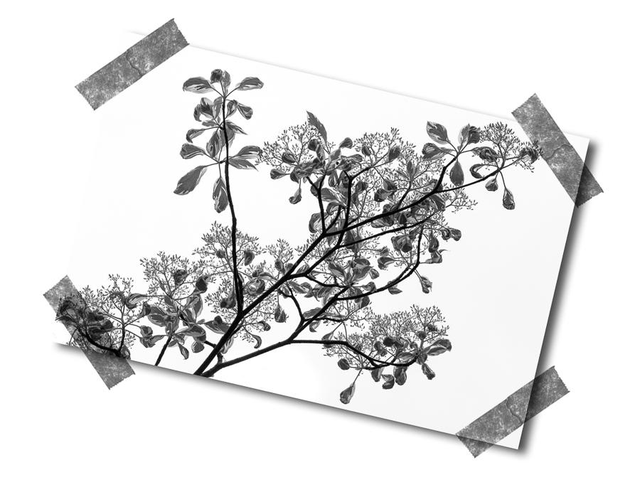 Ficus in B&W