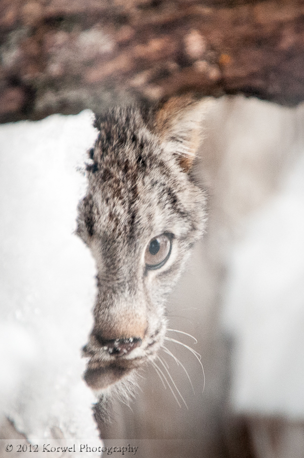 Young Lynx in Ochsner Park zoo, Baraboo, WI (1)