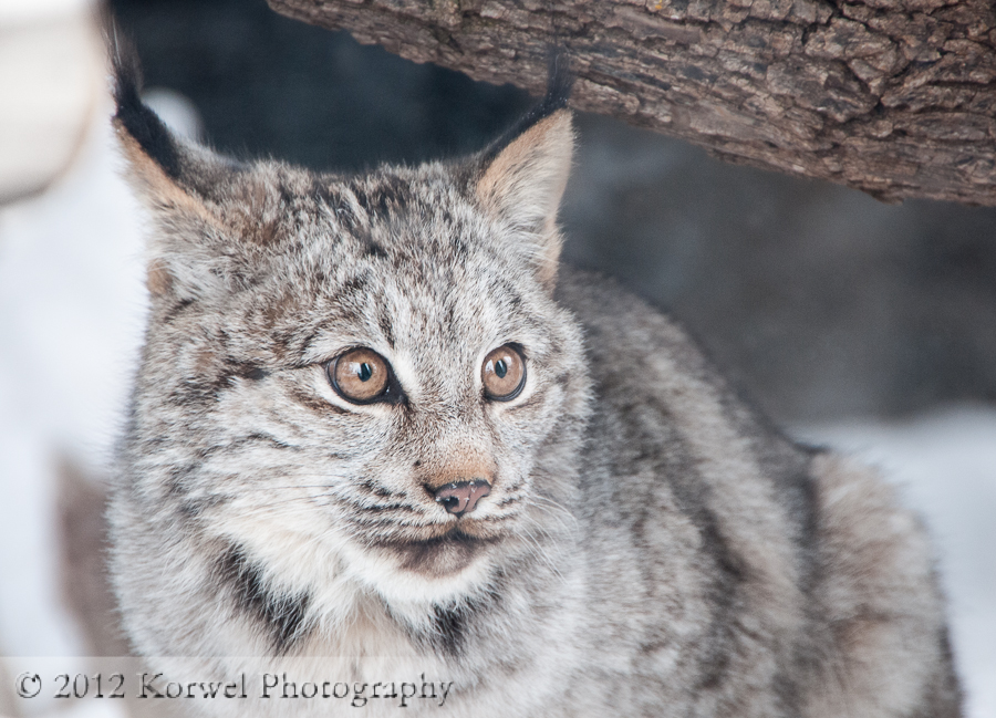 Young Lynx in Ochsner Park zoo, Baraboo, WI