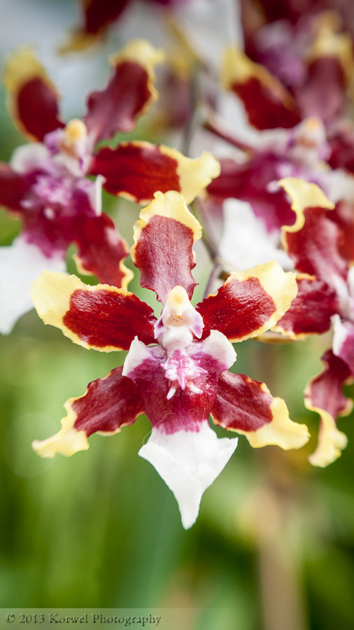 Exotic-orchids-red-yellow-and-white-vertical-panorama