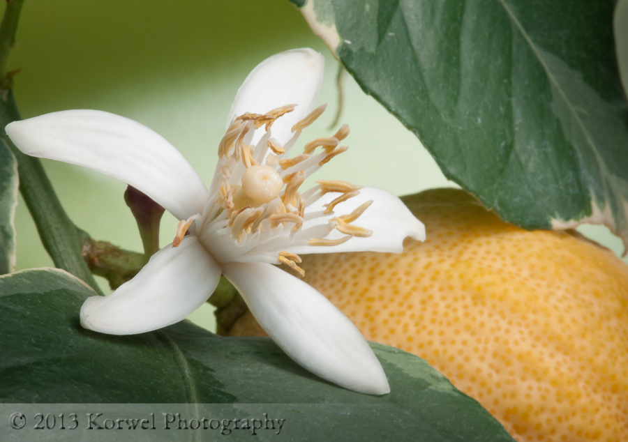 Blooming lemon tree