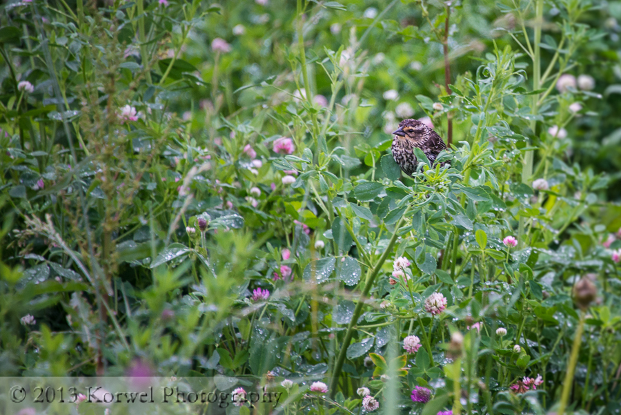 Sparrow among blooming clovers