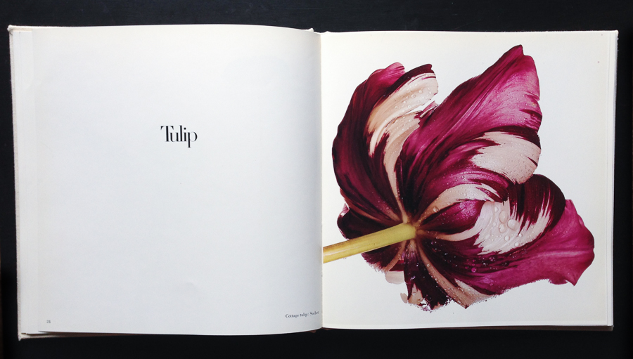 Tulip by Irving Penn