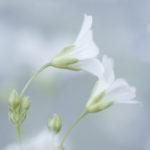 Delicate white flowers on blue