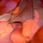 Red leaves autumn season