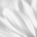 White gerbera petals
