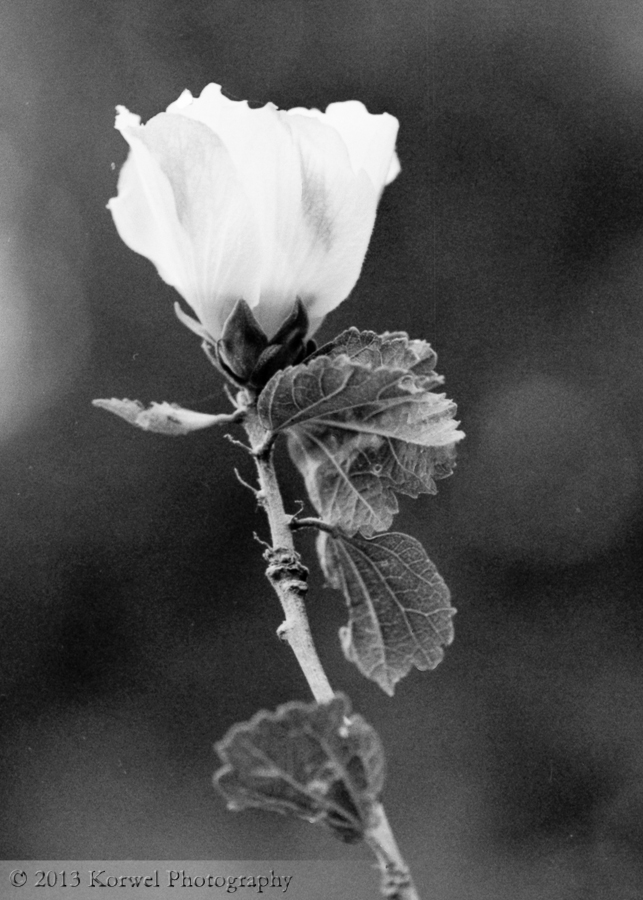 White rose in BW