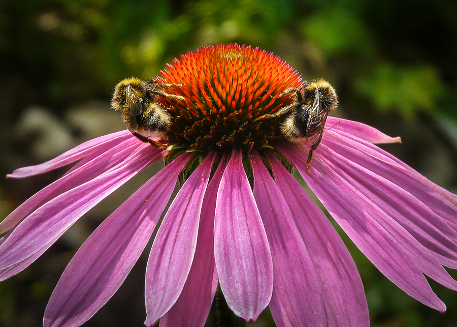 Bees pollinating pink aster