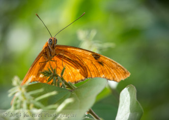 Julia butterfly (Dryas iulia) in greens