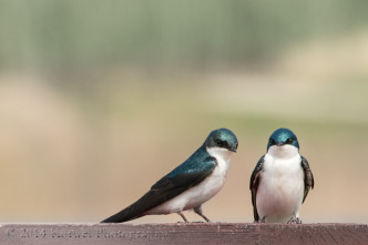 Pair of swallows