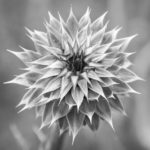 Symmetry of the thistle B&W